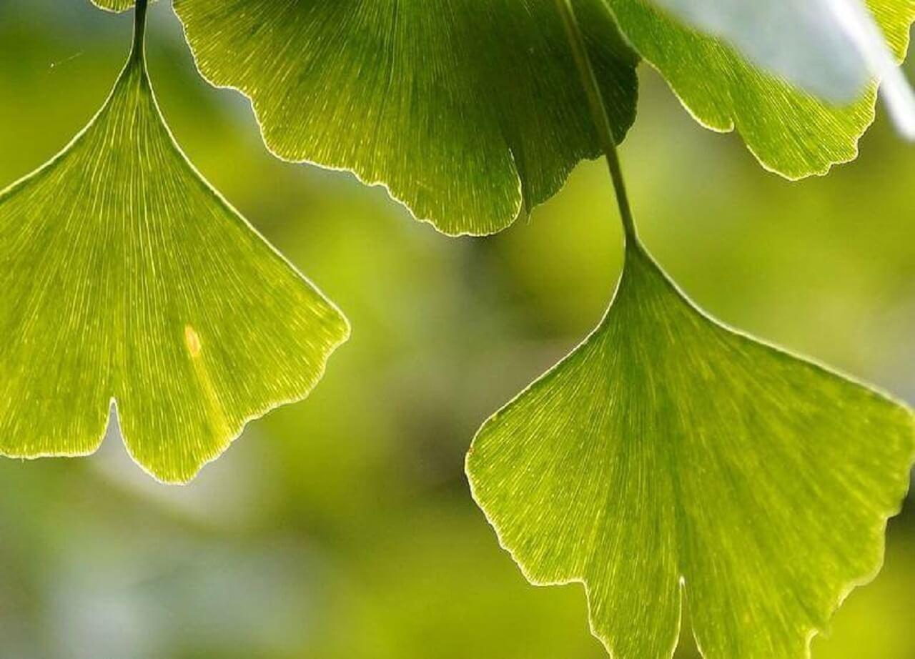Blätter wie Gingko werden in der TCM Phytotherapie eingesetzt