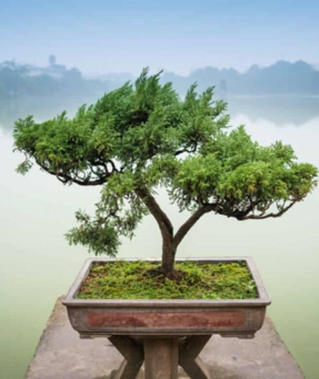 chinesischer Bonsaibaum als Symbol für Wohlstand. Die Kosten für eine Heilpraktiker Behandlung in Köln orientieren sich an der Gebührenordnung