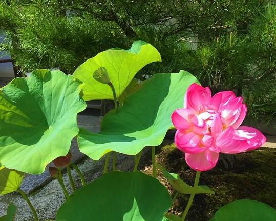rosafarbene Lotosblüte symbolisiert in der TCM Frauenheilkunde Weiblichkeit